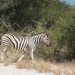 Eins von vielen Zebras