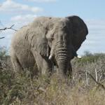 Ein alter Elefant