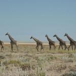 Giraffen ziehen vorbei