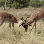 Kämpfende Antilopen