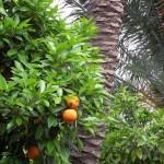 Hier wachsen Orangenbäume...