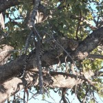 Der Leopard chillt